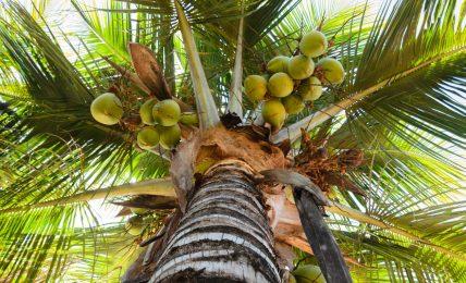 Ein Kokosnuss-Sicherheitsbeauftragter muss auf hohe Palmen klettern
